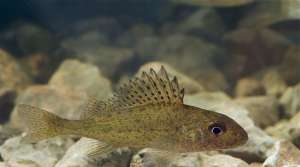Read full article: Minnesotans Ask Corps To Keep Invasive Lake Species Out Of Mississippi River