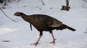 Read full article: Wild Turkeys Struggle To Survive Harsh Winter