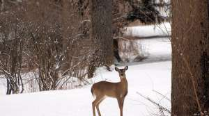 Read full article: DNR Is Unlikely To Act As Deer Herd Faces Possible Starvation