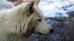 Read full article: DNR Estimates Wolf Population Has Dropped By 19 Percent Over Past Year