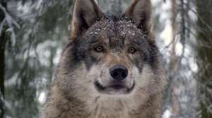 Read full article: DNR Will Release Wolf Population Estimates Soon