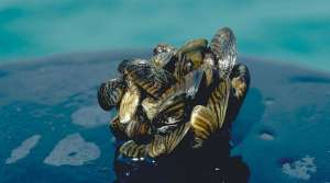 Read full article: Pesticide That Kills Zebra, Quagga Mussels May Be Tested On Northern Wisconsin Lake