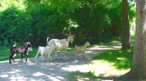 Read full article: State Park Rents Goats, Sheep To Eat Invasive Plants