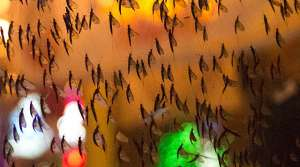 Read full article: Massive Swarms Of Mayflies Hatch Along Mississippi River