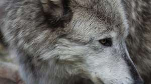 Read full article: DNR Will Soon Allow Dogs To Chase Wolves For Training Purposes