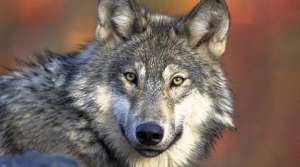 Read full article: Group Pushes Not To Let Hunters Overstep State's Wolf-Hunting Quota