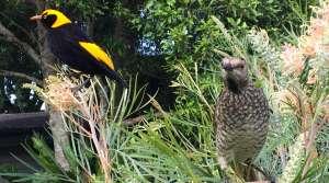 Birds in Lamington National Park - Photo by Allen Rieland