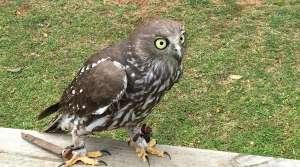 Barking Owl - O'Reilly's Birds of Prey - Photo by Allen Rieland