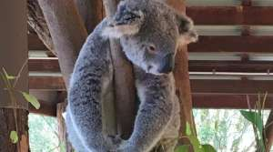 Koala at the Australian Zoo, Beerwah, QLD, AU - Photo by Allen Rieland