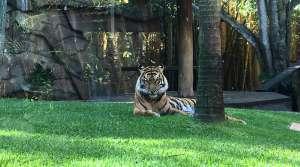 Bengal Tiger - Australian Zoo - Photo by Allen Rieland