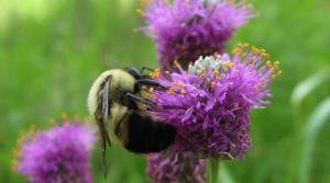 Purple prairie clover with bee