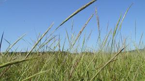 Wild rice seed heads