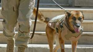 Belgian Malinois Military Working Dog Army Forces War Iraq