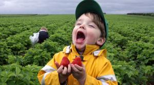 Read full article: Wet May Sets Back Strawberry Season
