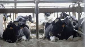 Cows lie down on a bed of sand in their stalls at Mystic Valley Dairy in Sauk City