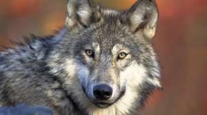 Read full article: Congressman Duffy Pushes To Delist Gray Wolf From Endangered Species List