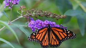 Read full article: A Beautiful Sight: 'Huge Wave' Of Monarch Butterflies Prepare To Migrate