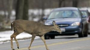 Deer, deer crashes, accidents, collisions, transportation