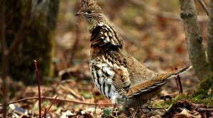 Read full article: DNR Board Moves Toward Shortening Grouse Season In Wisconsin