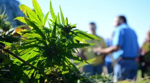 Read full article: Gov. Tony Evers Signs Industrial Hemp Farming Bill