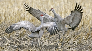 Two sandhill cranes in a field