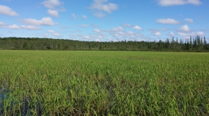 Read full article: An 'Indicator Plant': Wild Rice Struggles To Survive In A Changing Climate