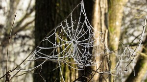 Spider web with frost.