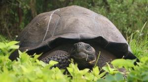 a Galapagos giant tortoise