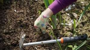 Weeding tool being used in garden.