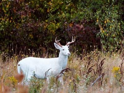 White Buck