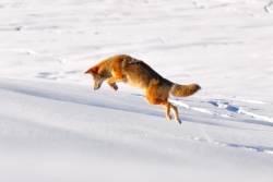 coyote stalking a rodent