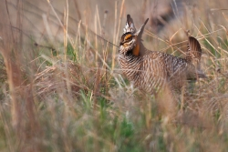 Prairie chicken in field.
