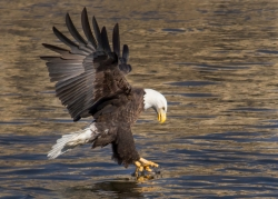 Eagle diving for fish