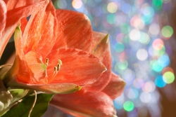 Amaryllis flower in front of lights