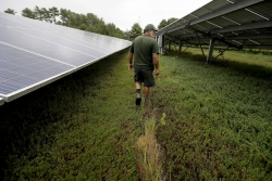 cranberry grower Mike Paduch walks among solar arrays in a cranberry bog at his farm