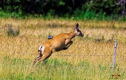 Deer hopping across fence