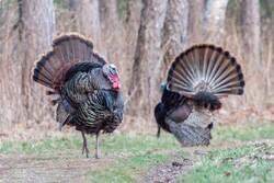 Male Turkeys Display