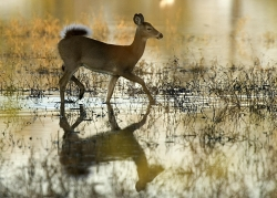 white tail deer in water