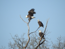 Bald eagles sitting in tree near Sauk Prairie.
