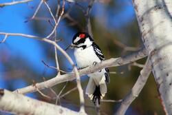 A male hairy woodpecker.