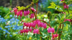 Bleeding heart plant.
