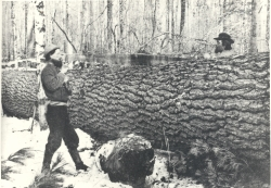Bucking up a large white pine with a crosscut saw, circa 1890s