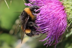 Bumblebee pollinating a thistle.