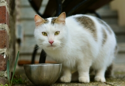 Calico cat with food bowl