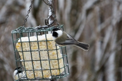 Chickadees on suet feeder.
