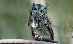 Eastern screech owl in tree.