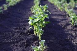 row of vegetables in garden