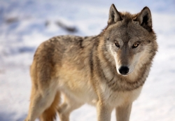 NRB To Consider Request To Resume Wolf Hunt
