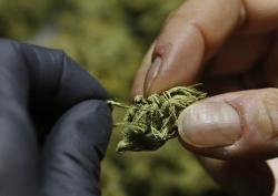 marijuana plant close up