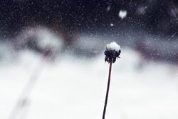 Seedhead in winter.